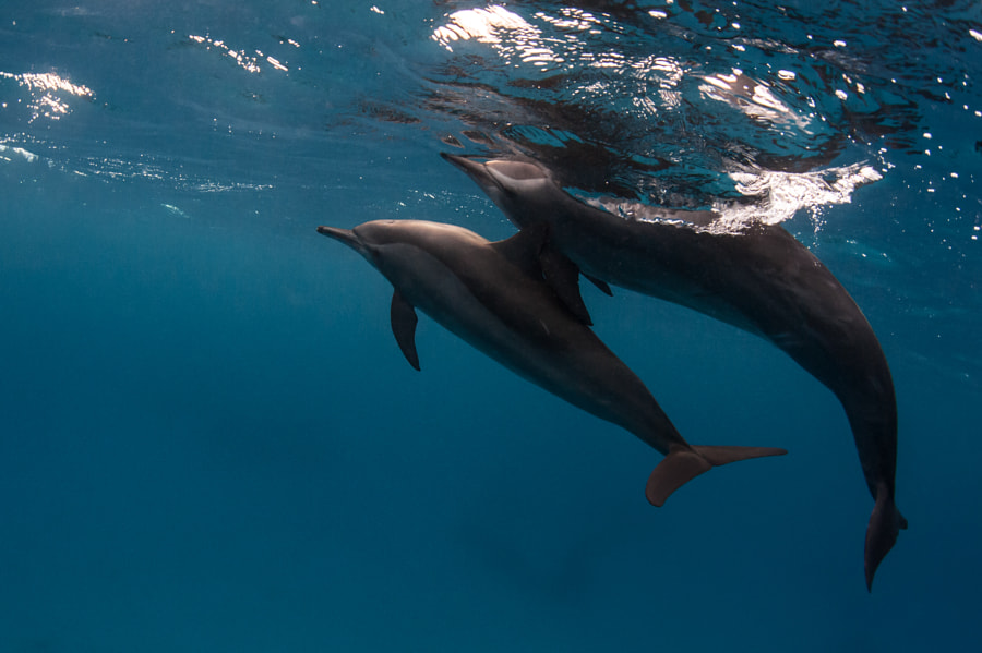 Dolphines #2 in Red Sea