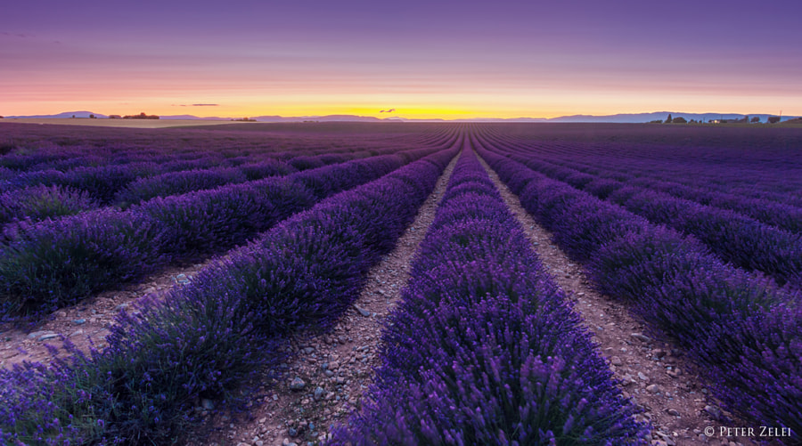 Photograph Lavender perspective by Peter Zelei on 500px