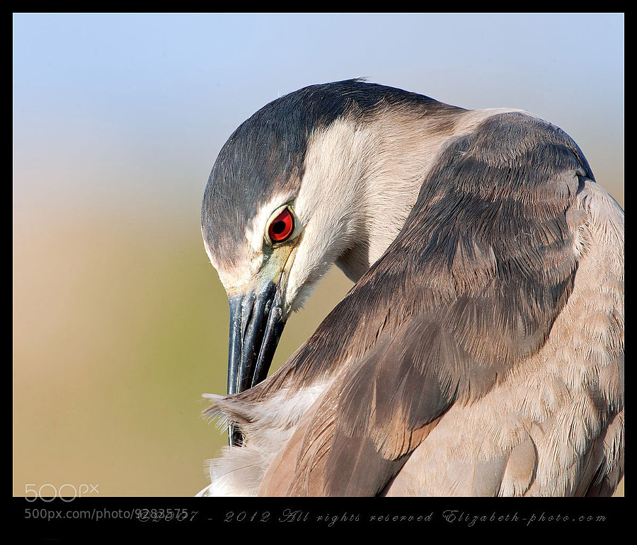 Photograph Black-crowned Night Heron  by Elizabeth.  E. on 500px