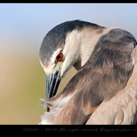 Black-crowned Night Heron  by Elizabeth.  E. (ElizabethE)) on 500px.com