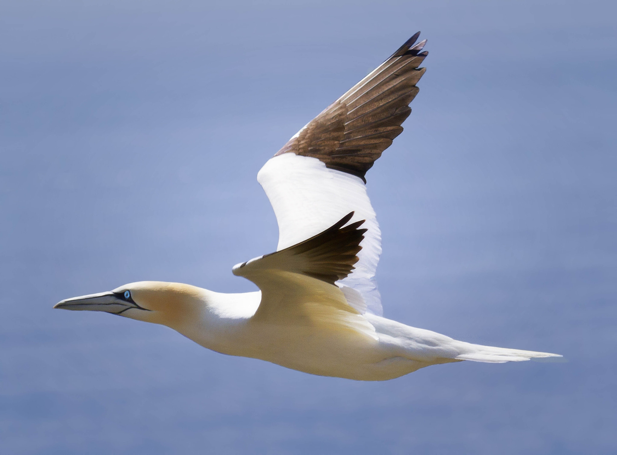 Photograph Saltee  Gannet by KERRY ODONNELL on 500px