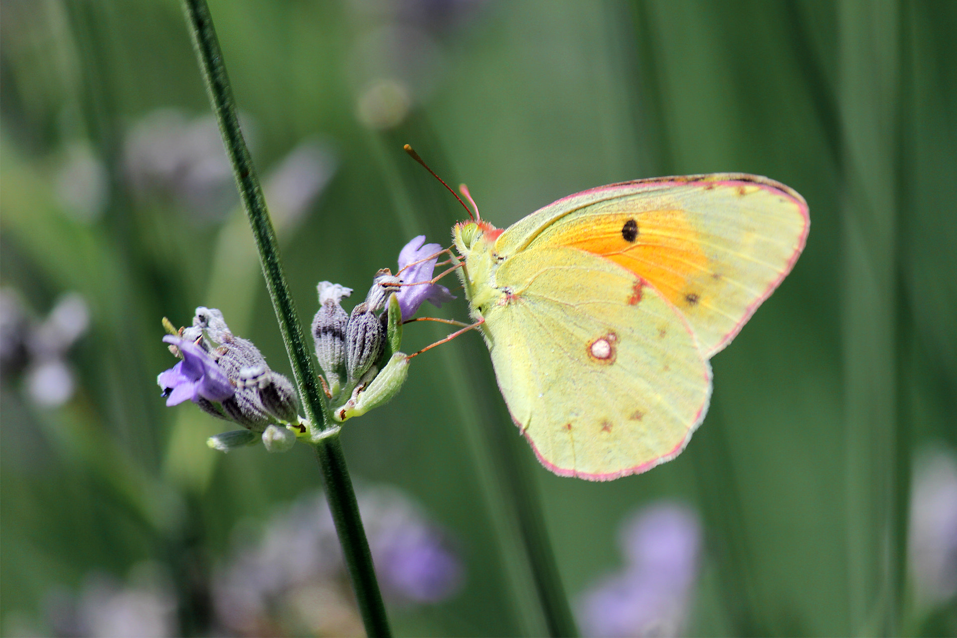 Photograph Clouded Yellow by Anıl Özer on 500px