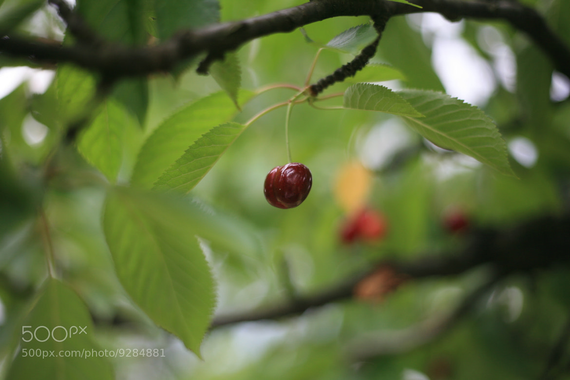 Photograph Lonely cherry.... by Mari Na on 500px