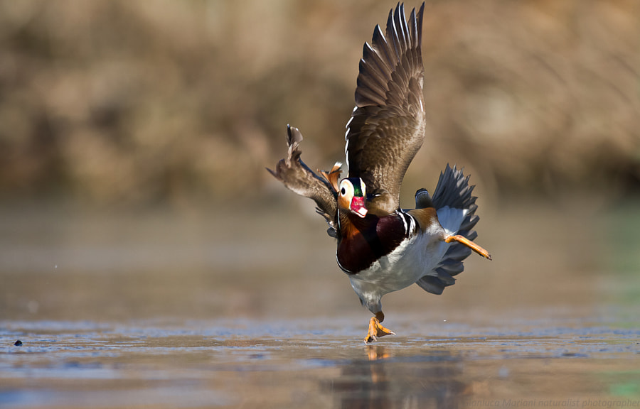 Photograph Running on ice by Gianluca Mariani Nature Photographer natura 2.8 on 500px