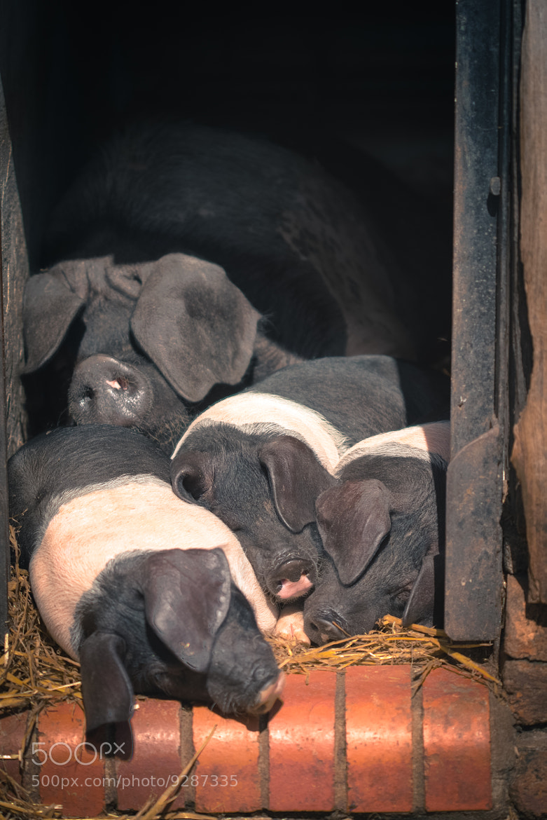 Photograph Sleeping Pigs by Mike Griggs on 500px