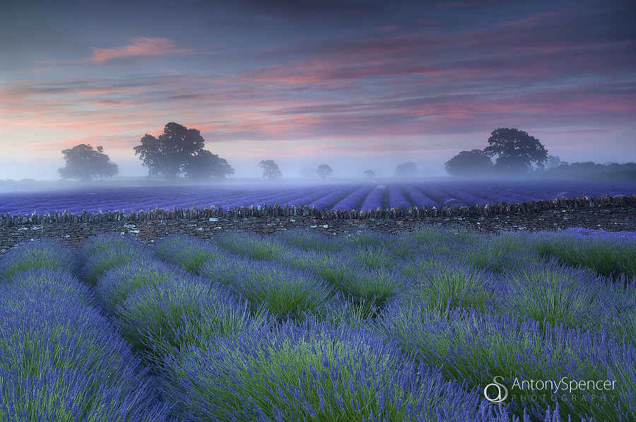 Photograph Lavender Dawn by Antony Spencer on 500px