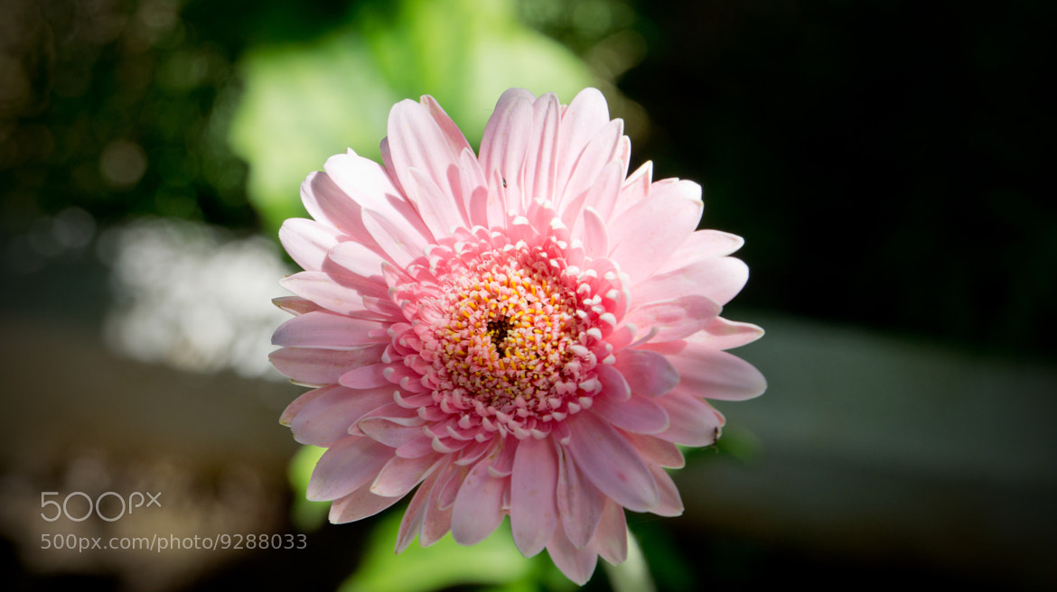 Photograph Pink Flower by Martýn Alexandro on 500px