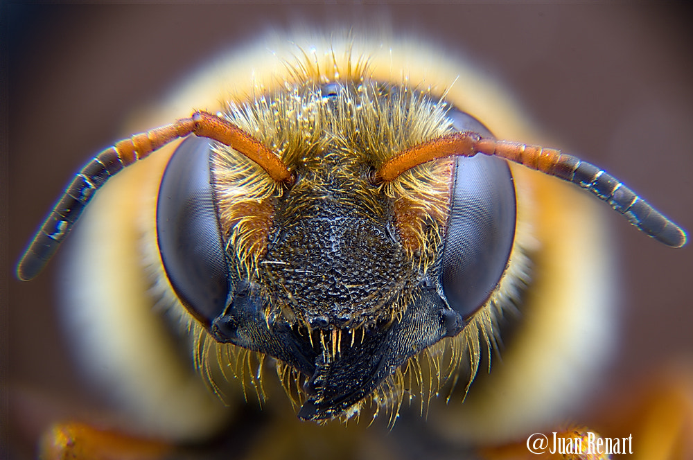 Photograph Abeja by Juan Renart on 500px