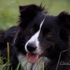 Постер, плакат: My Border Collie Grace