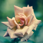 ������, ������: Yorkshire Rose