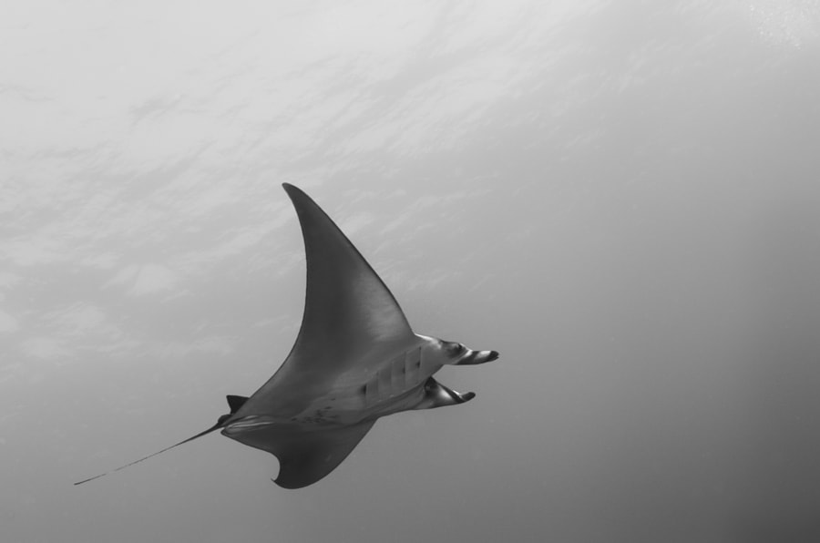 Manta in Red Sea