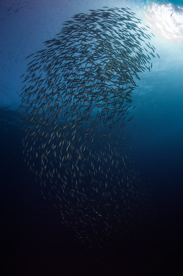 School of Fish in Red Sea
