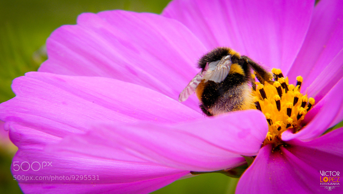 Photograph Pollination by Victor Lopez on 500px