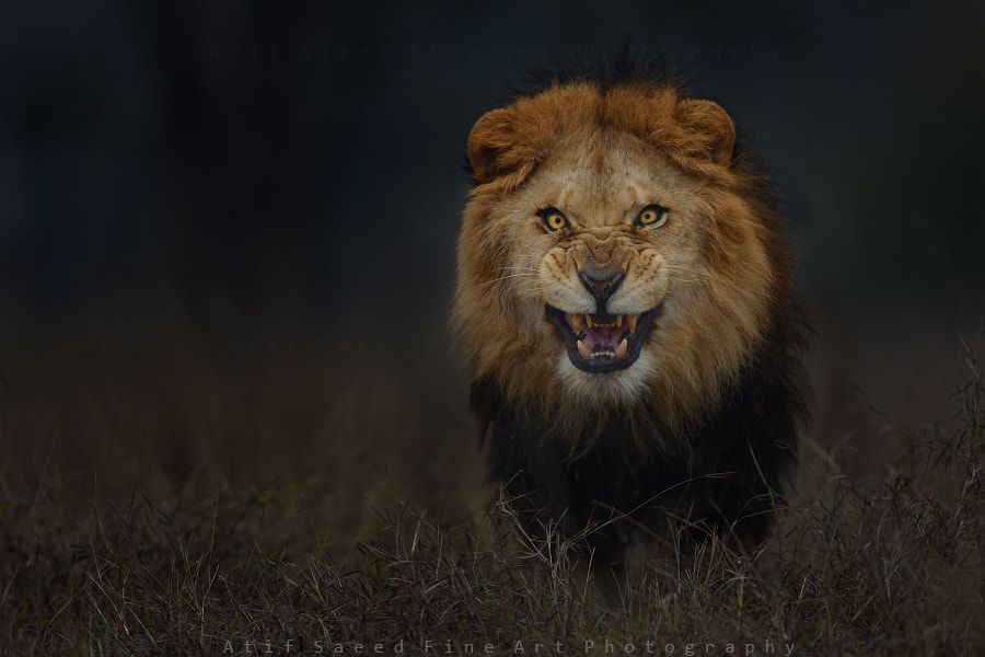 The Ghost and the Darkness.. by Atif Saeed on 500px.com