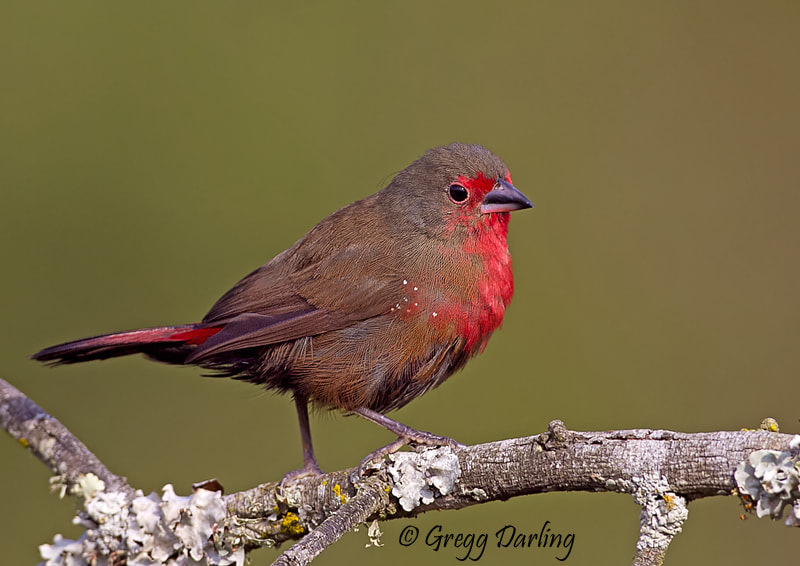 Photograph African Firefinch by Gregg Darling on 500px