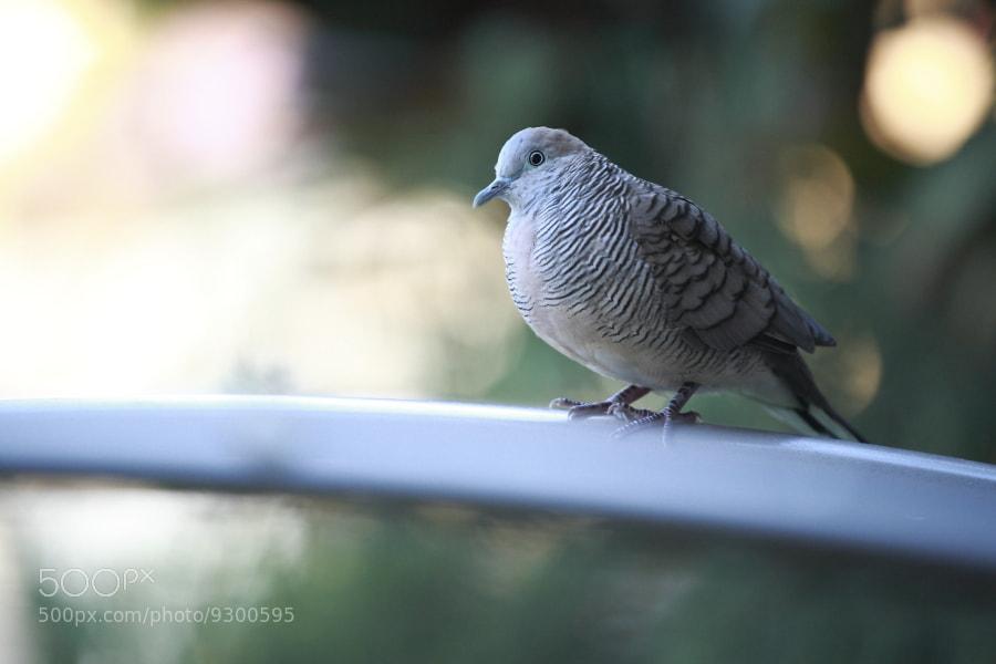 Photograph Dove by BINH TRAN on 500px
