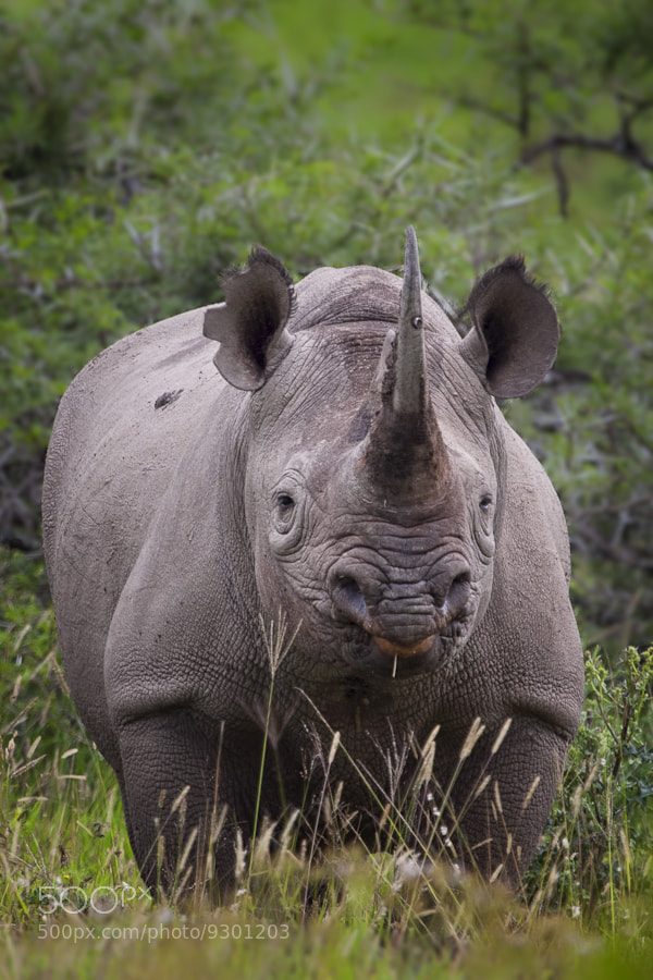 Photograph Black Rhino by Mario Moreno on 500px