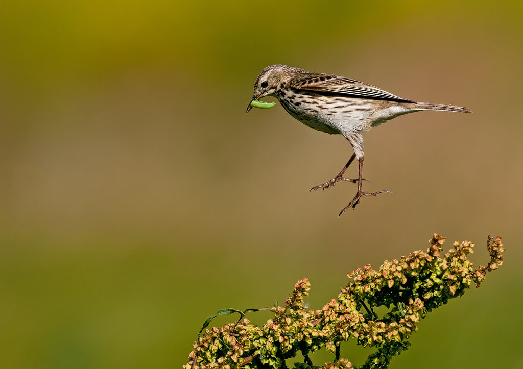 Photograph Meadow Pipit by Sean Driscoll on 500px