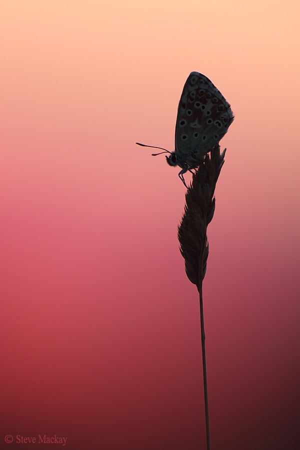 Photograph Butterfly Sunset (part 2) by Steve Mackay on 500px