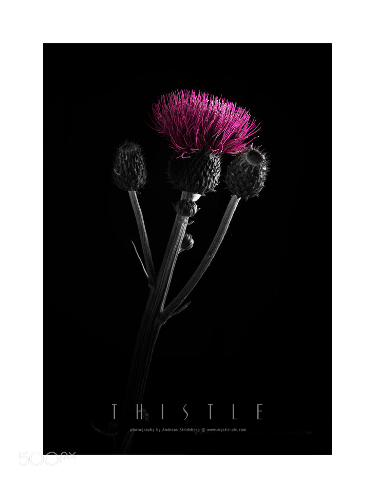 Photograph Thistle by Andreas Stridsberg on 500px