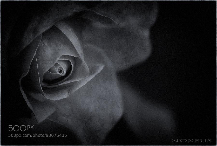 Photograph Rosa de invierno by Ricard Noxeus on 500px