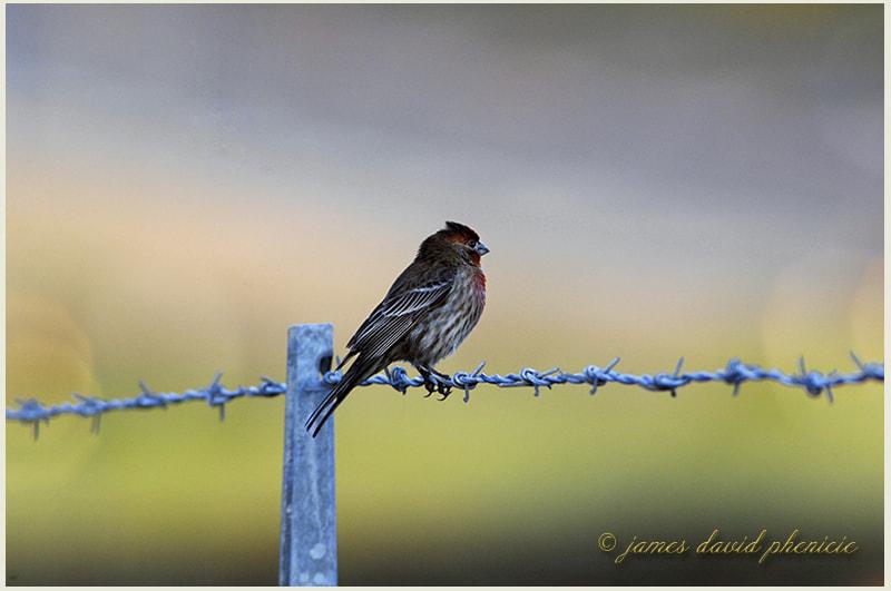 Bird Series:  House Finch