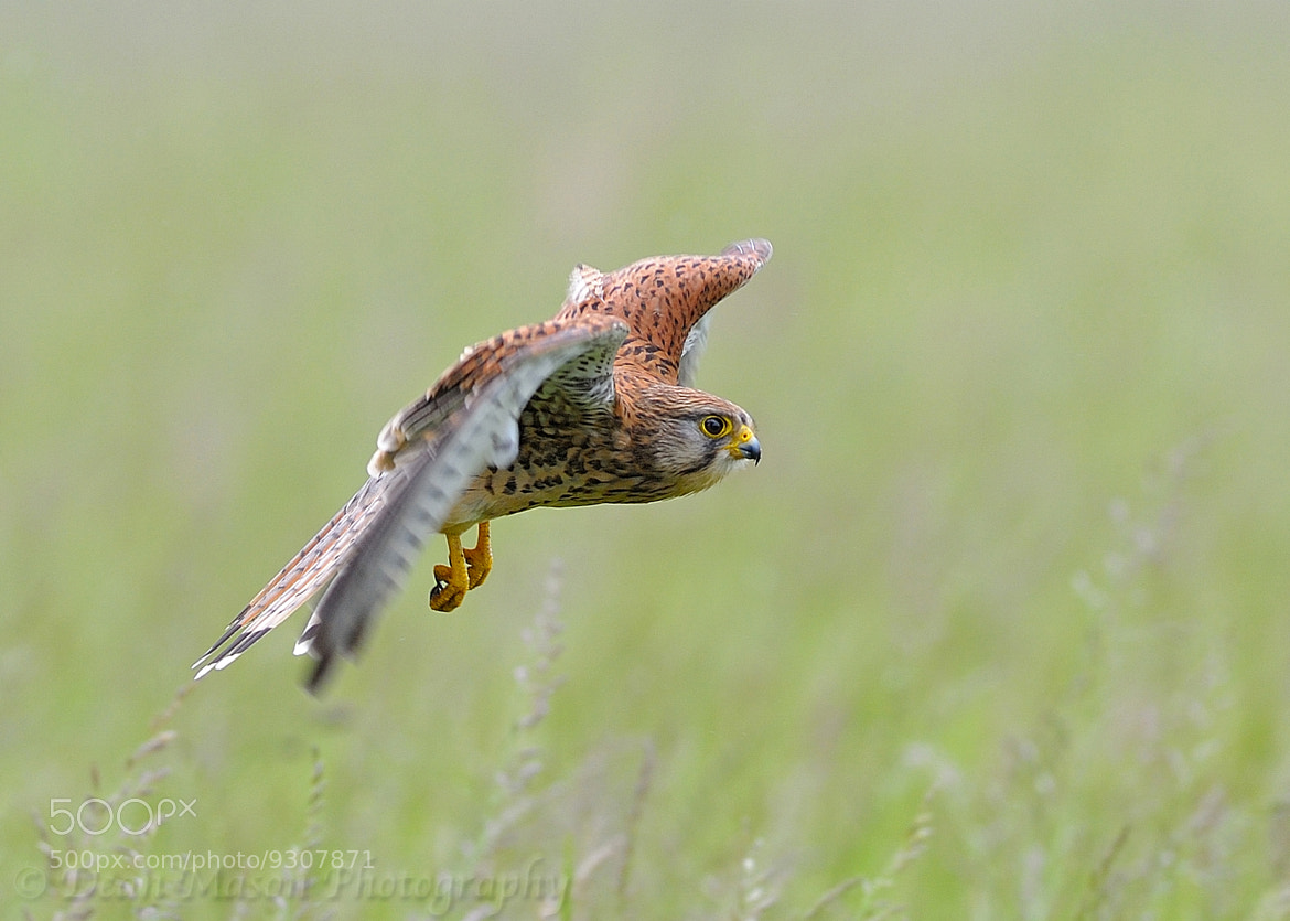 Photograph Kestrel in Flight II by Dean Mason on 500px