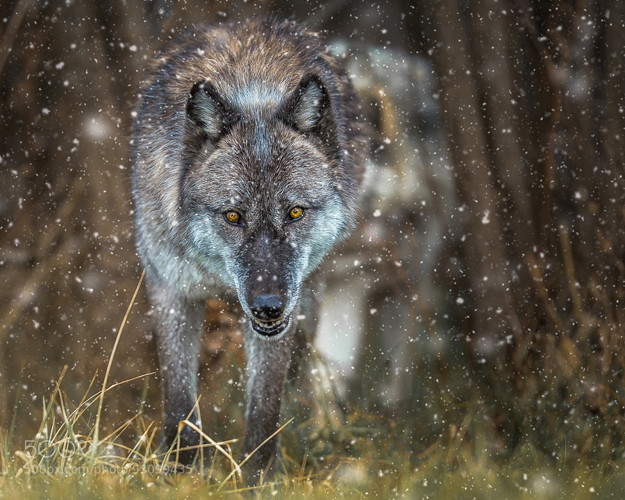 Let it Snow by Evan Kokoska