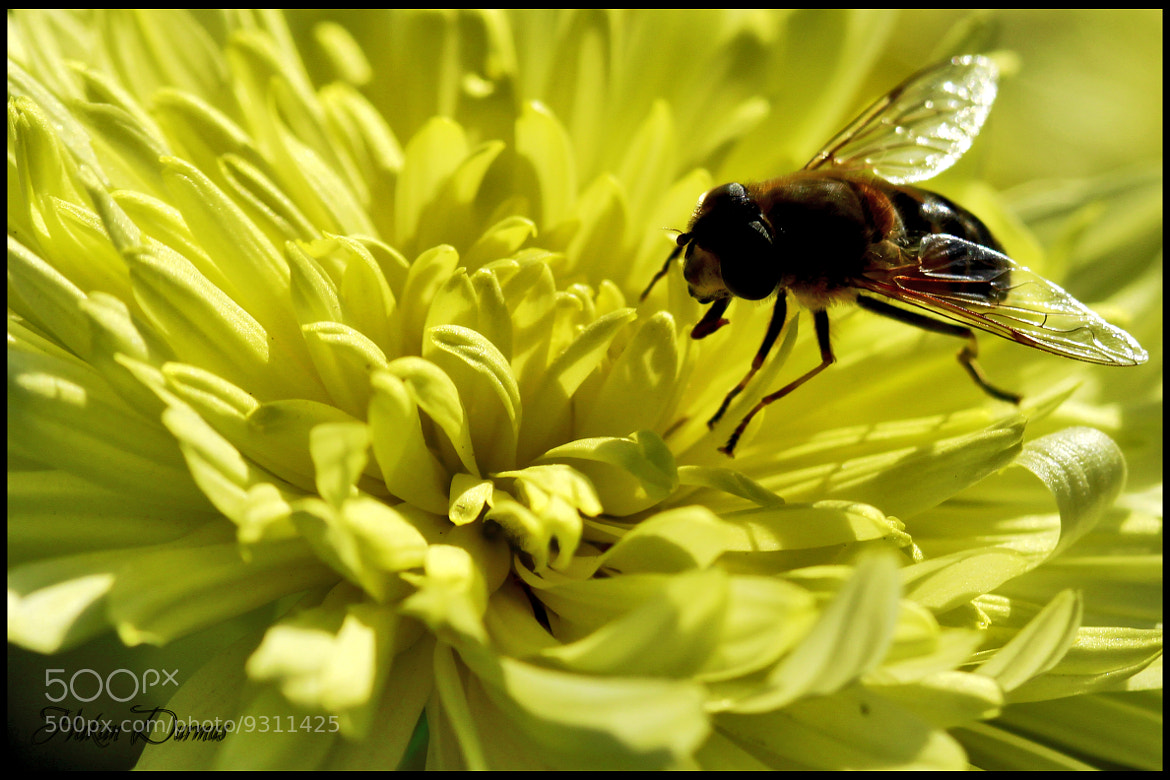 Photograph Bee by Hakan Durmuş on 500px