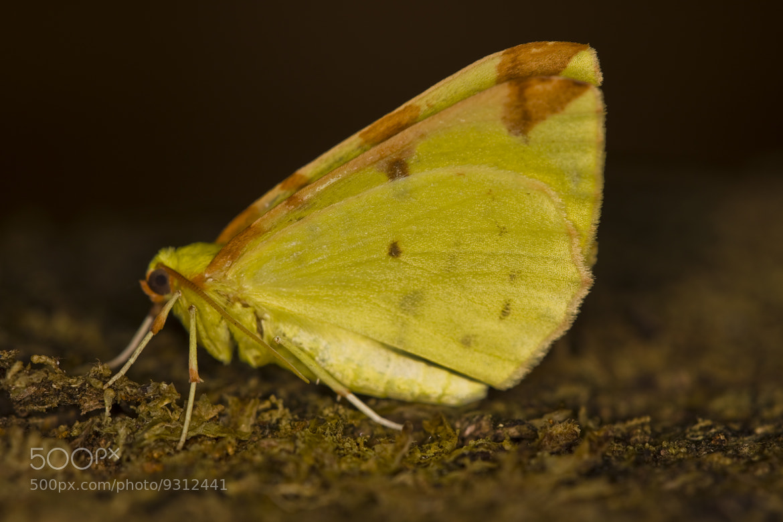 Photograph Brimstone moth (Opisthograptis luteolata) by Gabor Pozsgai on 500px