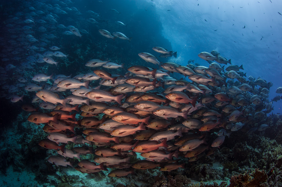 School of Snappers #5 at Ras Muhammad in Red Sea