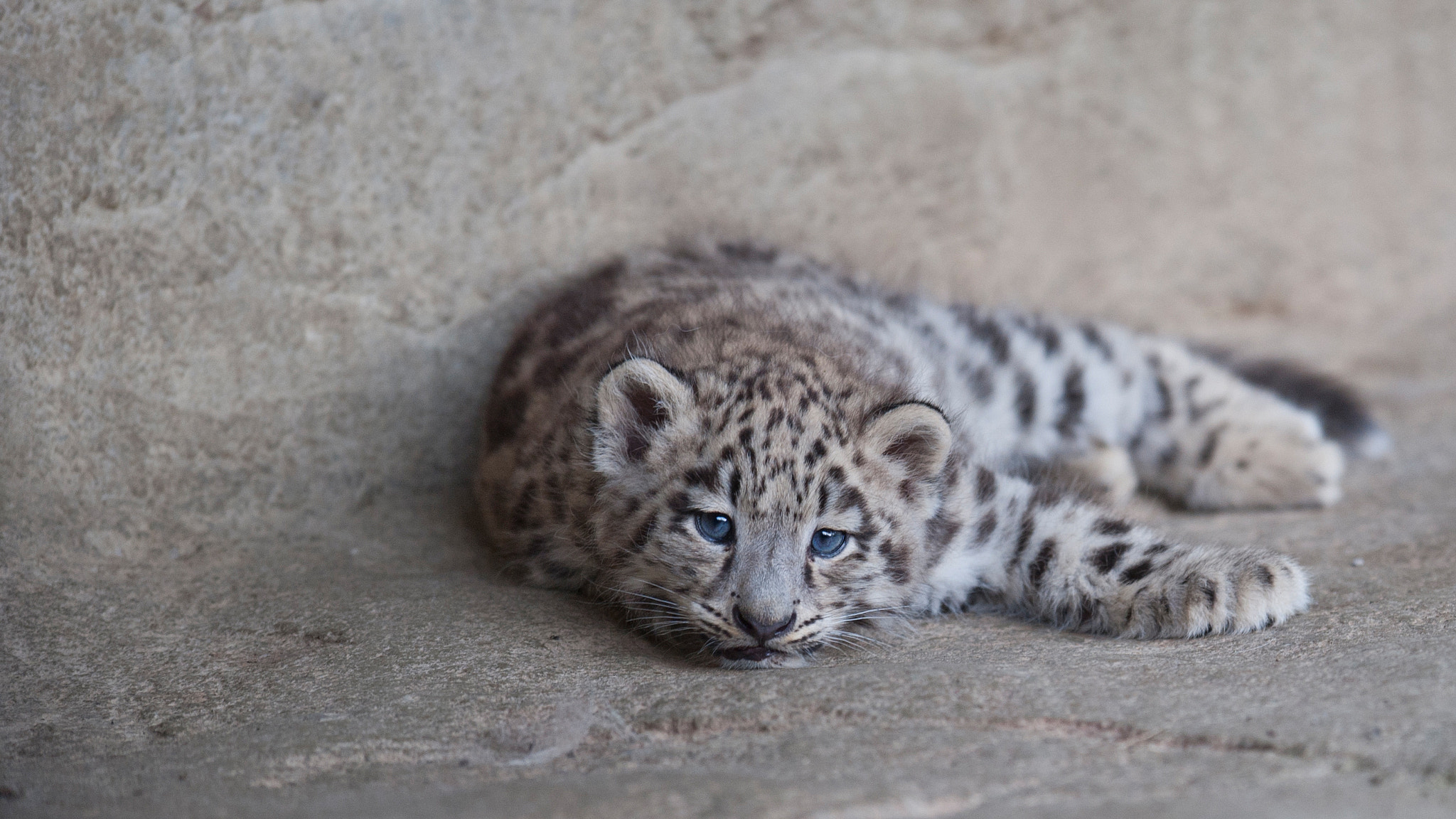 "Photograph Snow leopard cub ""Mohan"" by andreas richter on 500px"