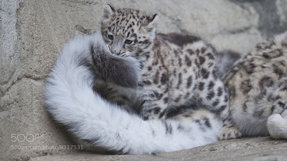 "Photograph Snow leopard cub ""Mohan"" and mummy's tail by andreas richter on 500px"
