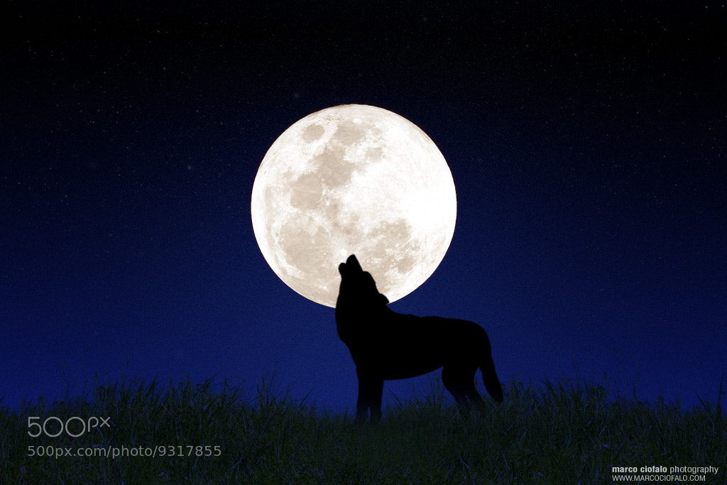 Photograph Moonwolf by Marco Ciofalo Digispace on 500px