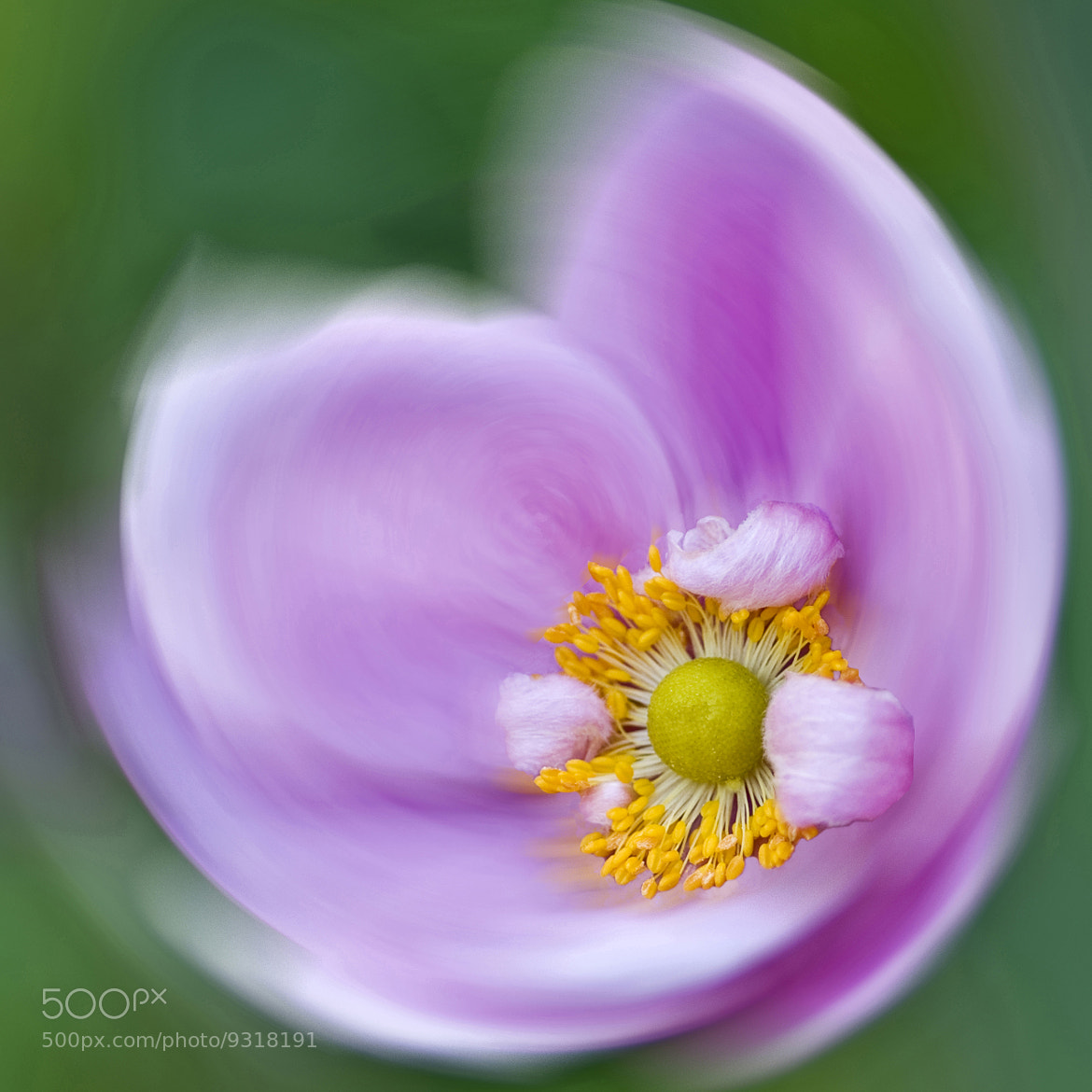 Photograph Anemone Swirl by Diane Fifield  on 500px