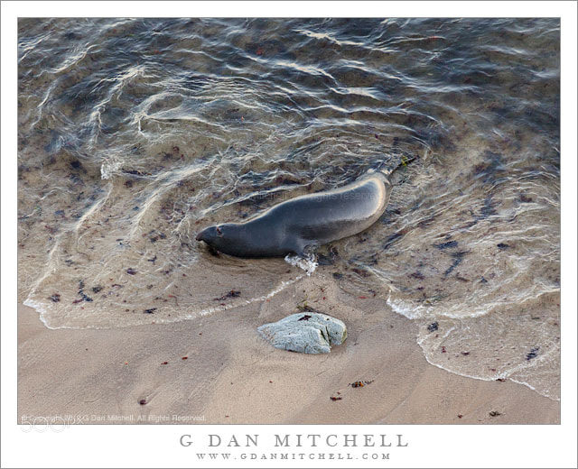 Photograph Elephant Seal and Rock, Water's Edge by G Dan Mitchell on 500px