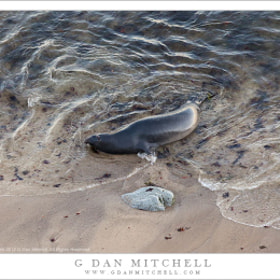 Elephant Seal and Rock, Water's Edge by G Dan Mitchell (gdanmitchell)) on 500px.com