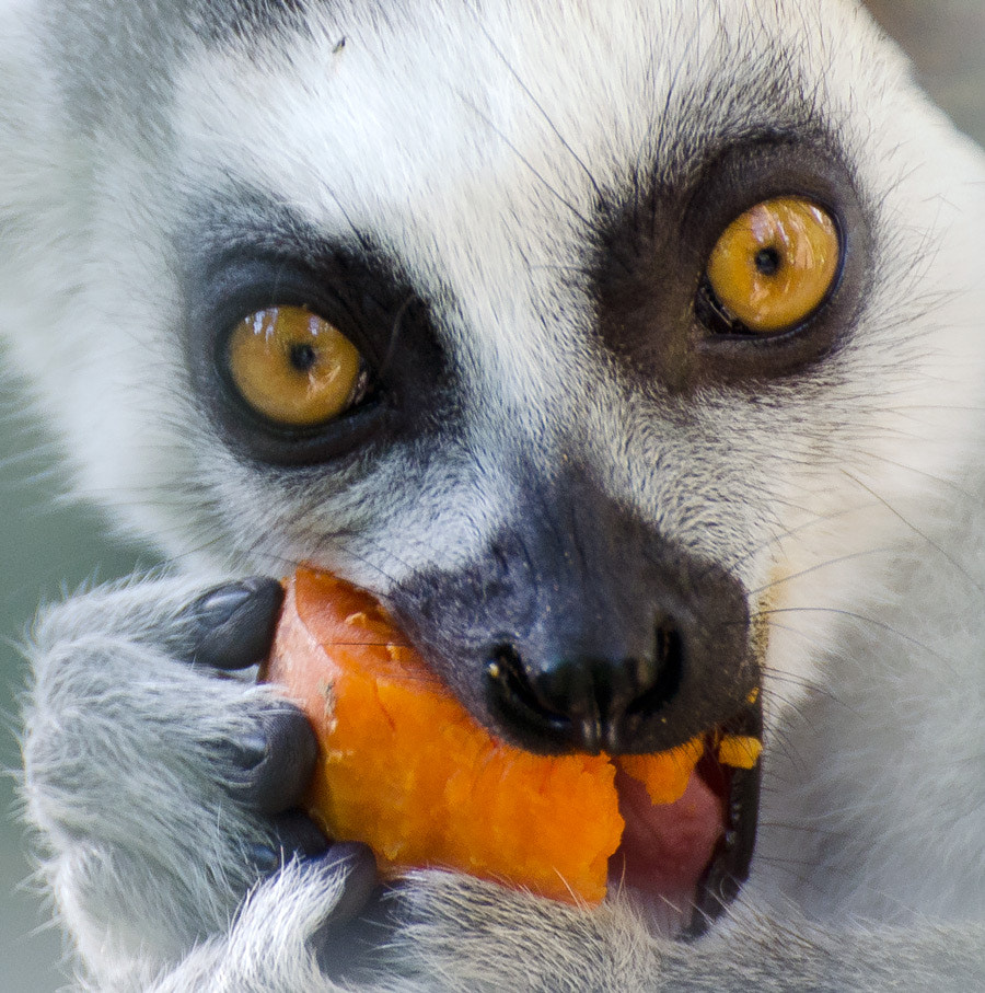Photograph Lemur eating carrot by Christina Skov on 500px