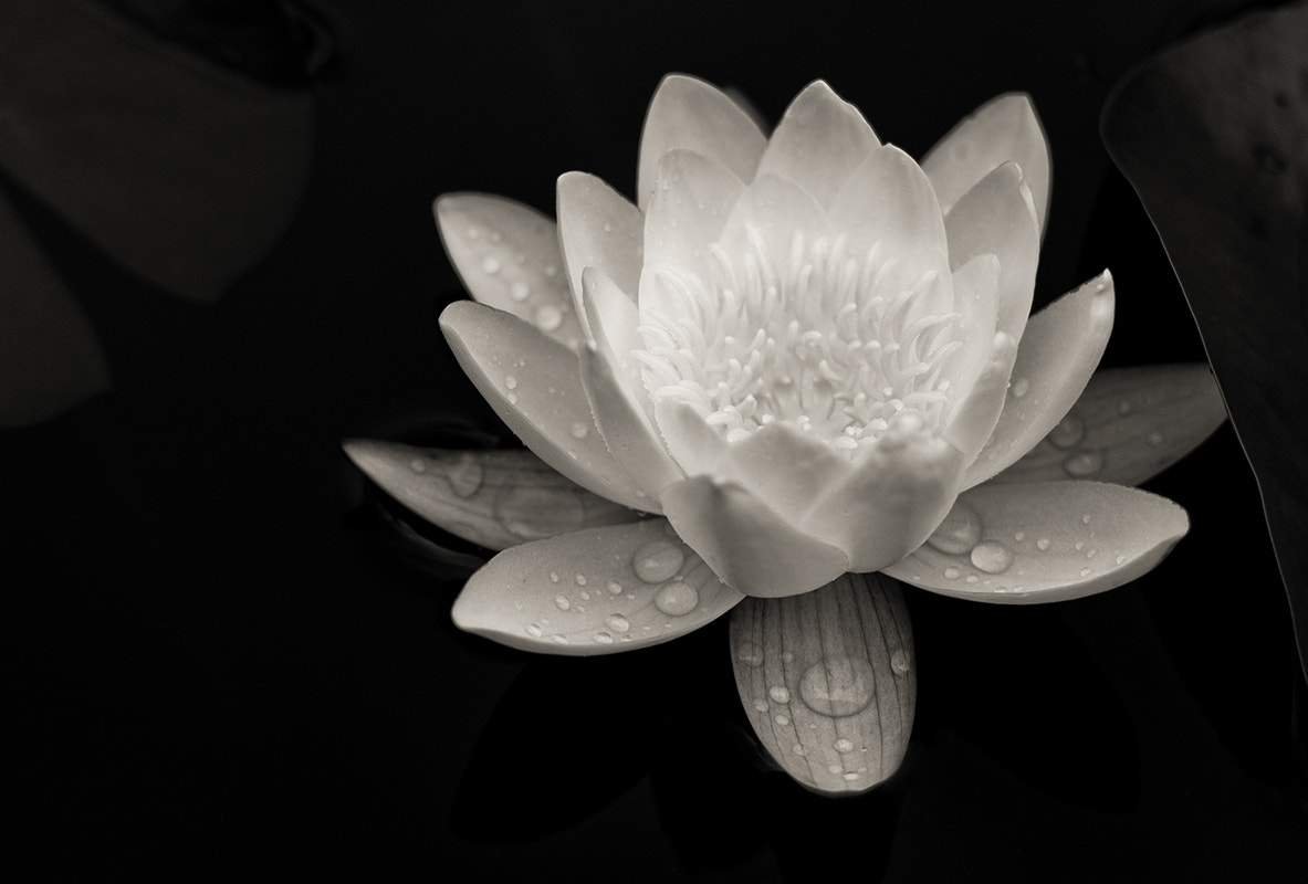 Photograph White water lily by SC Photography on 500px