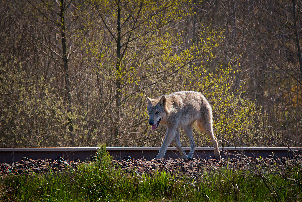 Photograph Wild Wolf by Allan Wallberg on 500px