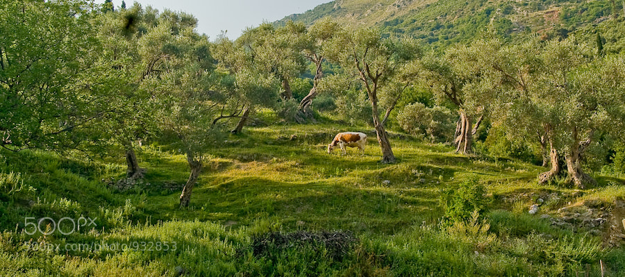 Photograph Olive Trees by Roman Sokolov on 500px