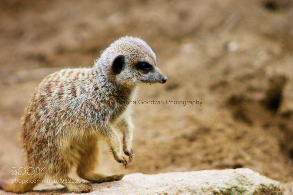 Photograph Young meerkat by Deanna Goodwin on 500px