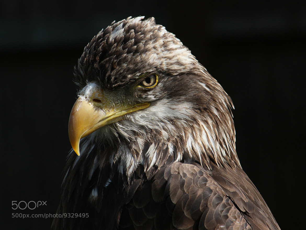 Photograph Bird of Prey by Phil Aldred on 500px