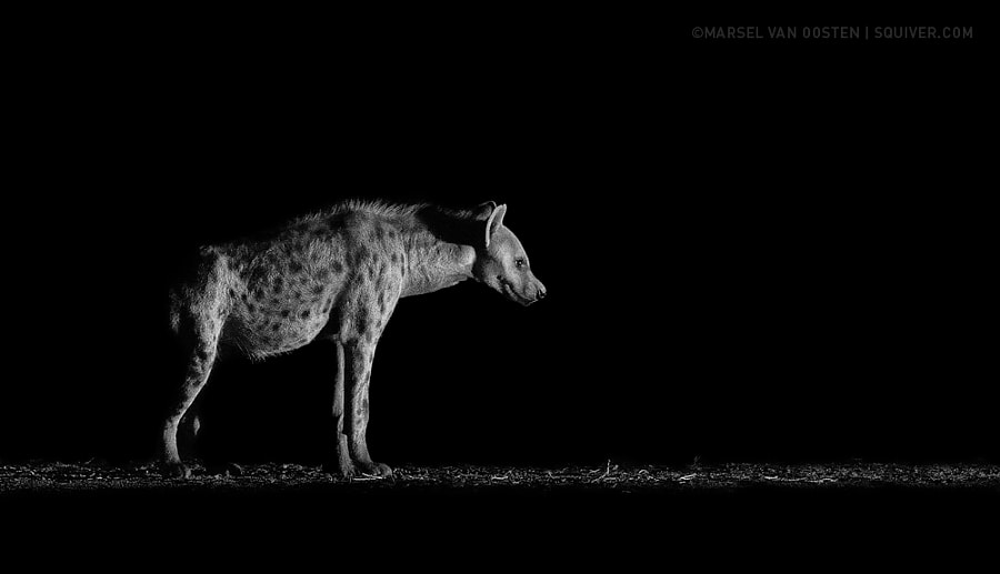 Photograph Prowler by Marsel van Oosten on 500px