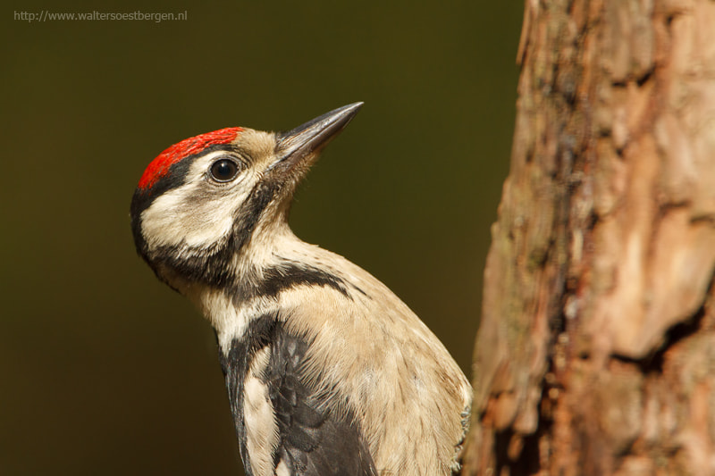 Photograph Great Spotted woodpecker by Walter Soestbergen on 500px