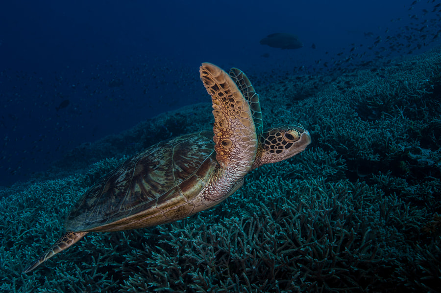 Turtle at Tubbataha Reef in Philippines