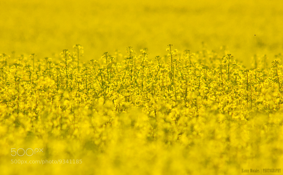 Photograph Rapeseed field by Hannelore  on 500px
