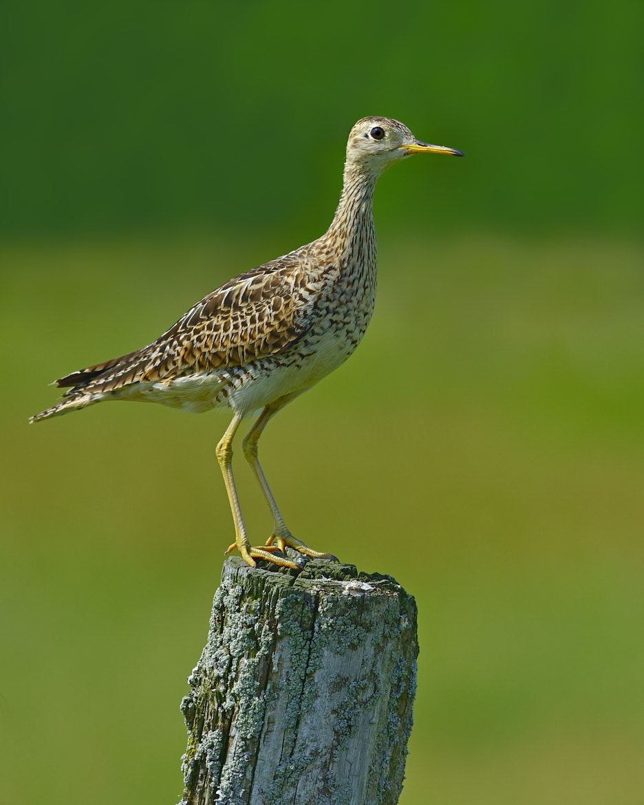 Photograph Upland Sandpiper by Tony Beck on 500px