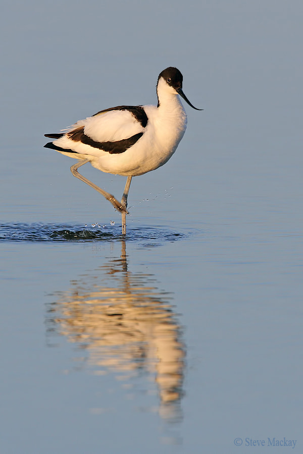 Photograph Pied Avocet by Steve Mackay on 500px