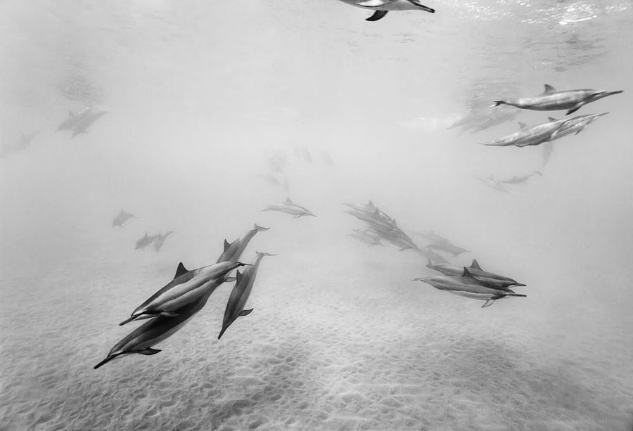 Photograph Spinner Dolphins II by Miles O'Sullivan on 500px